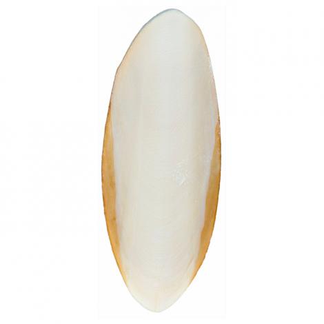 Osso de Choco Inteiro