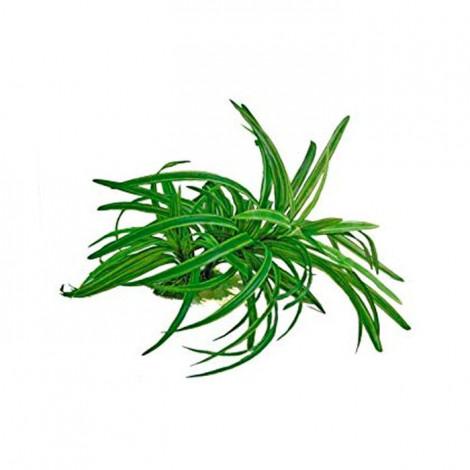 Planta Replica DRACENA