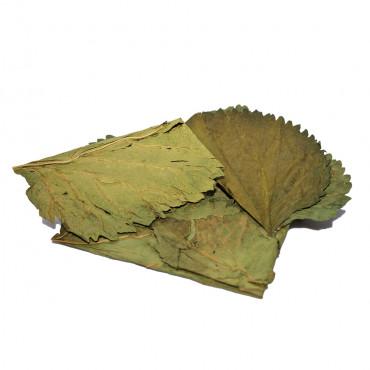 Folhas de Amoreira