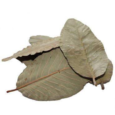 Folhas de Goiabeira