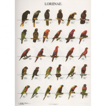 Poster Lories Nº 1