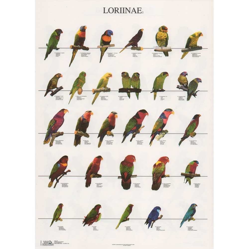 Poster Lories Nº 2