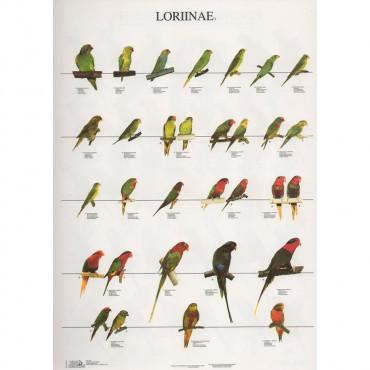 Poster Lories Nº 3