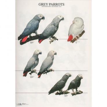 Poster Papagaios Cinzentos
