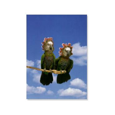 Poster Papagaios Cabeça de Falcão