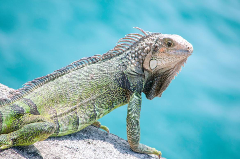 A iguana verde é arborícola