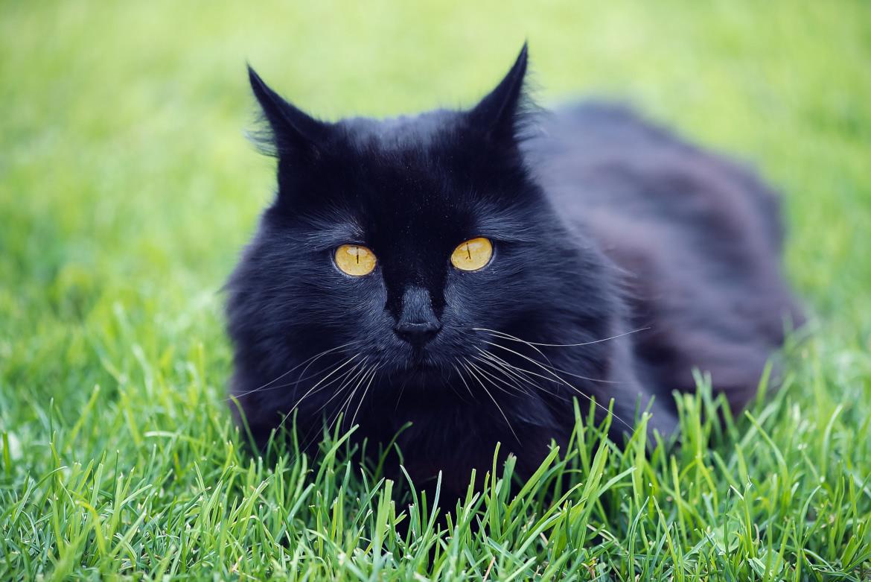 Gato preto o espião perfeito