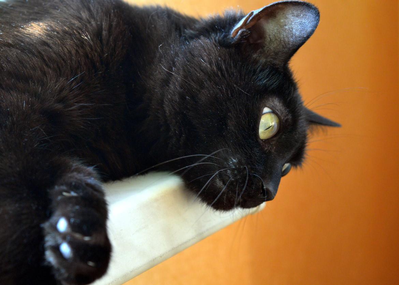 Adote um gato preto