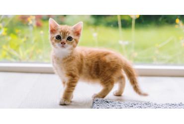 O que deve saber antes de adotar um gato?