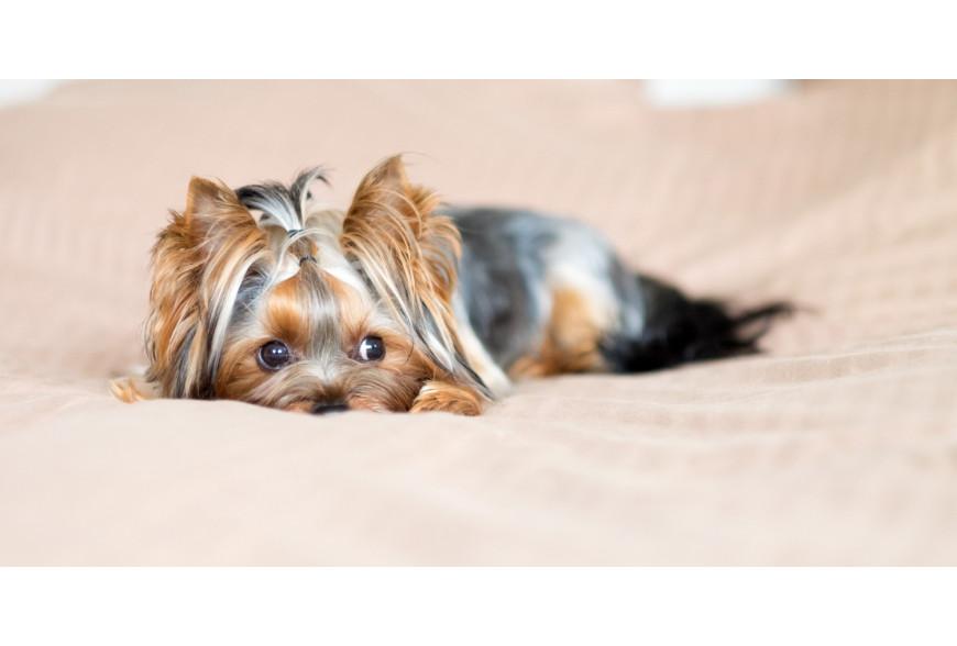 A importância da nutrição no cão yorkshire sénior